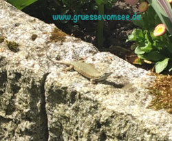 Eidechse auf Sandsteinmauer